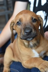 Rhodesian Ridgeback Puppy For Sale in GOLD BAR, WA, USA