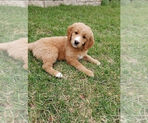 Goldendoodle Puppy for Sale in BRIARCLIFF, Texas USA