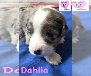Miniature Australian Shepherd Puppy for sale in SLATE HILL, NY, USA