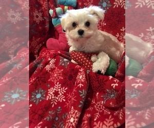 Morkie Puppy for sale in GRAFTON, VA, USA