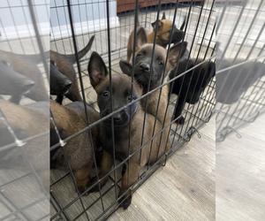Belgian Malinois Puppy for sale in SUNNYSIDE, WA, USA