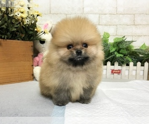 Pomeranian Puppy for sale in CHICAGO, IL, USA