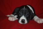 Great Dane Puppy For Sale in SPRINGFIELD, MO