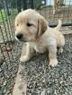 Golden Retriever Puppy For Sale in OAKHURST, CA, USA