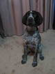 German Wirehaired Pointer Puppy For Sale in PRIOR LAKE, MN