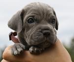 Puppy 5 Neapolitan Mastiff