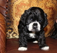 Cocker Spaniel Puppy For Sale in TERRY, MS,