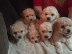 Bichon Frise Puppy For Sale in ORLANDO, FL