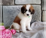 Puppy 9 Poodle (Miniature)-Saint Bernard Mix