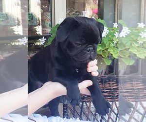 Pug Puppy for sale in ROUND ROCK, TX, USA