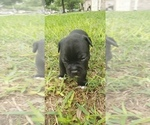 Small #2 Staffordshire Bull Terrier