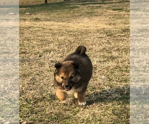 West Siberian Laika Puppy for sale in MARSHALL, AR, USA