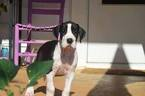 Great Dane Puppy For Sale in MARTINSVILLE, VA, USA