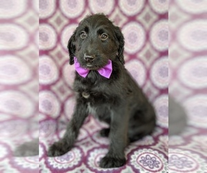 Shepadoodle Puppy for sale in LANCASTER, PA, USA
