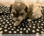 Puppy 5 Maltipoo