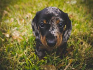 View Ad: Dachshund Puppy for Sale near Oklahoma, TULSA, USA