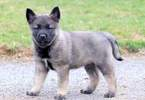 Norwegian Elkhound Puppy For Sale in MOUNT JOY, PA, USA