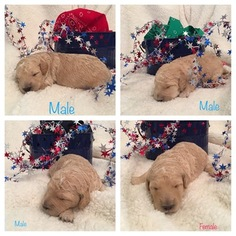 Goldendoodle Puppy For Sale in PORTLAND, ND, USA