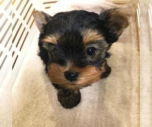 Yorkiepoo-Yorkshire Terrier Mix Puppy for sale in BHAM, MI, USA