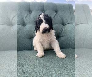 Goldendoodle-Poodle (Standard) Mix Puppy for Sale in EASLEY, South Carolina USA