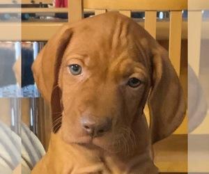 Vizsla Dog for Adoption in CLARKDALE, Arizona USA