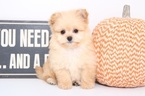 Pom-A-Poo Puppy For Sale in NAPLES, FL, USA