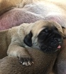 Mastiff Puppy For Sale in LILLIAN, AL, USA
