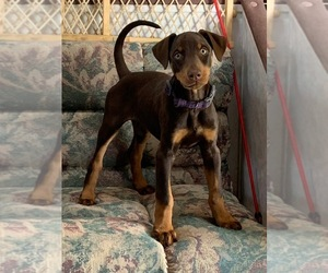 Doberman Pinscher Puppy for Sale in JOSHUA TREE, California USA