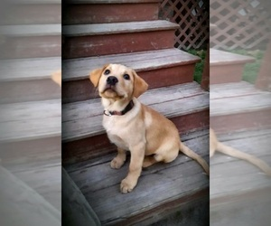 Labrador Retriever Puppy for sale in WILLARD, WI, USA