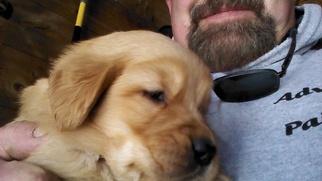 Golden Retriever Puppy For Sale in BRANDON, VT, USA