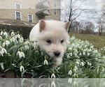 German Shepherd Dog Puppy For Sale in WASHINGTON, NJ, USA
