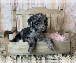 Poodle (Standard) Dog for Adoption in CONCORD, North Carolina USA