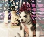 Small #23 Siberian Husky