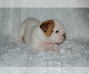 English Bulldog Puppy for Sale in NORCO, California USA