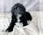 Puppy 9 Bernedoodle