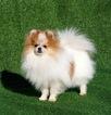 Pomeranian Puppy For Sale near 92562, Murrieta, CA, USA