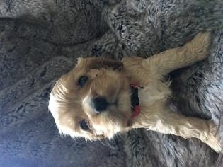 Cocker Spaniel Puppy For Sale in OSHKOSH, WI, USA