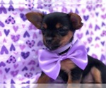 Poodle (Toy)-Yorkshire Terrier Mix Puppy For Sale in DELTA, PA, USA