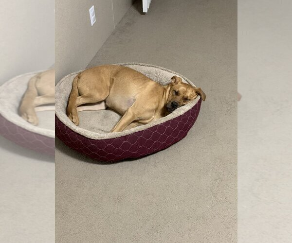 Medium Photo #7 Boxador Puppy For Sale in CLEVELAND, TN, USA