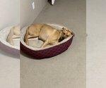 Small Photo #7 Boxador Puppy For Sale in CLEVELAND, TN, USA