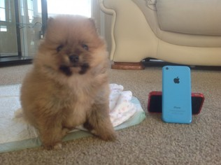Pomeranian Puppy For Sale in RIVERSIDE, CA