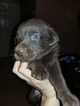AKC Chocolate Labrador Retriever pup