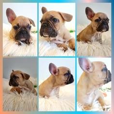 French Bulldog Puppy For Sale in ARLETA, CA, USA