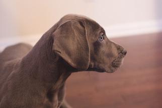 Great Dane Puppy For Sale in GRAND BLANC, MI, USA