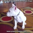 Small Photo #179 Dogo Argentino Puppy For Sale in PINEVILLE, MO, USA