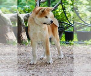 Akita Dog for Adoption in Budapest, Budapest Hungary
