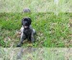 Puppy 3 Mastiff