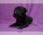 Image preview for Ad Listing. Nickname: Mixed Bully Pup