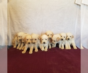 Golden Retriever Puppy for Sale in NORWOOD, Missouri USA