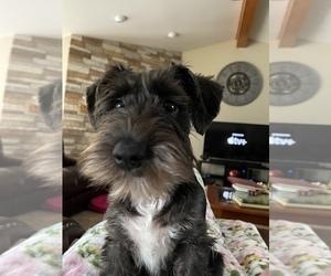 Schnauzer (Miniature) Puppy for sale in WENTZVILLE, MO, USA
